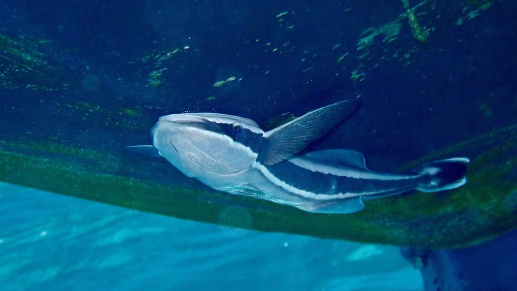 SwimTrek - Marlys seahorse
